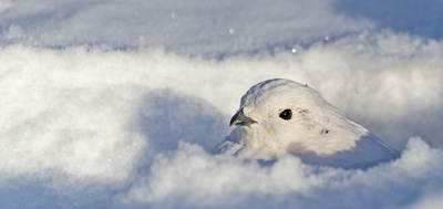 White-tailed_ptarmigan_19