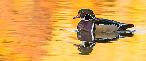Wood_duck_25