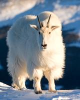 Mountain_Goat_35