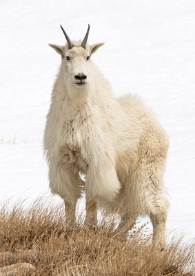 Mountain_goat_5