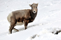 Baby Bighorn in Winter