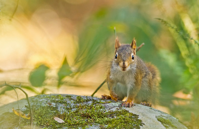 Red_squirrel_GSMNP_2016_1