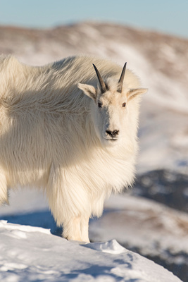 Mountain_Goat_41