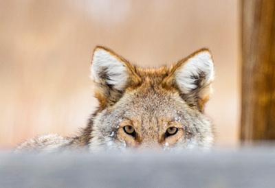 Coyote_CCSP_15-1