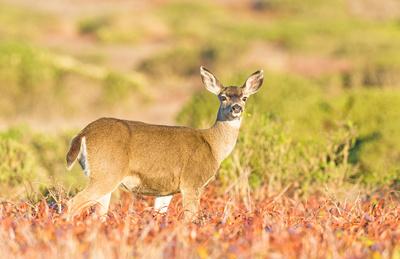 Black-tailed_deer_doe_Point_Reyes_2015_1