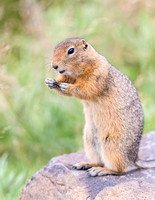 Arctic_ground_squirrel_Denali_2016_7
