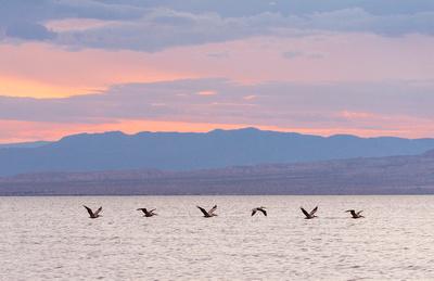 Brown_pelicans_Salton_Sea_2015_1