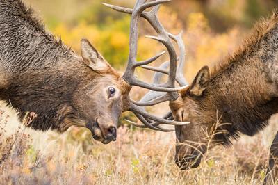 Elk_RMNP_2016_19