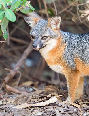 Island_fox_Channel_Islands_2015_4