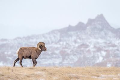 Bighorn_sheep_ram_Badlands_2017_1