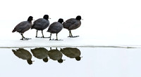 American_coot_2