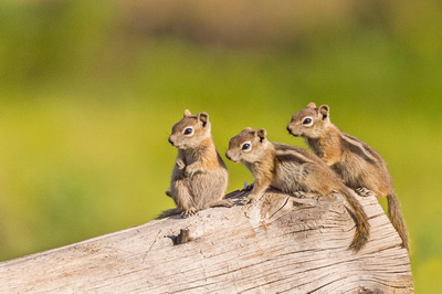 Golden-mantled_ground_squirrel_babies_RMNP_2017_1
