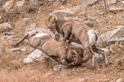 Bighorn_sheep_Georgetown_2017_3