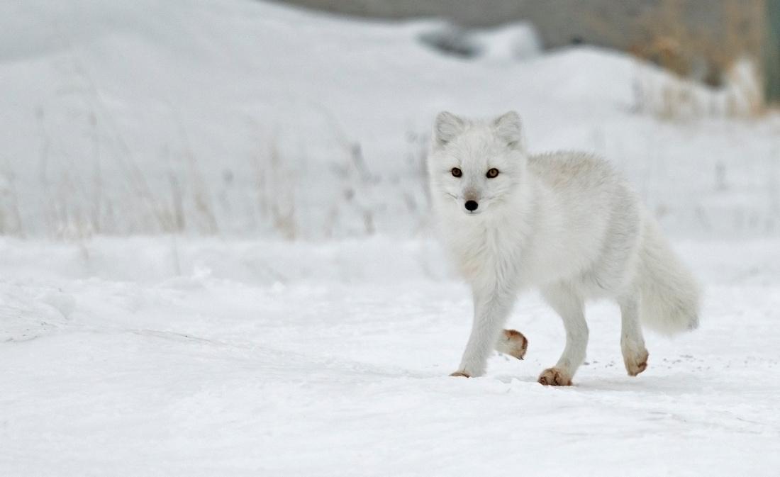 Arctic_fox_6