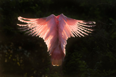 Spoonbill__Smith_Oaks_2016_1_final