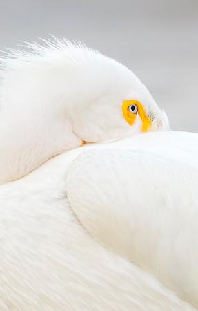 American_white_pelican_Sloans_2015_9