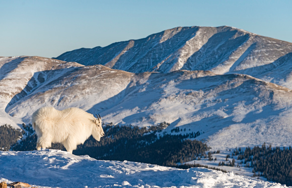 Mountain_Goat_37