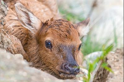 Elk_calf_EP_2017_2