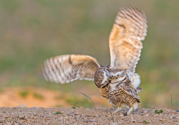 Burrowing_owls_2015_6
