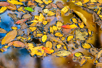 Leaves_in_Congaree_2016_1